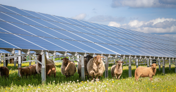 Sheep on a solar farm.